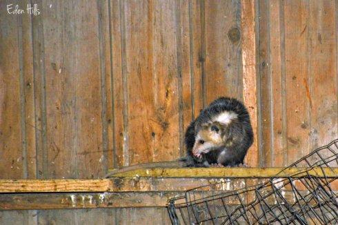 opossum_9164ews