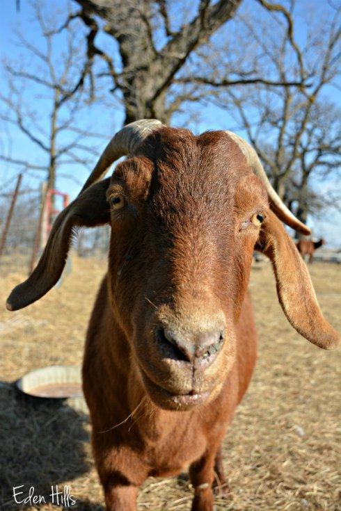 doe-goat_0217ews