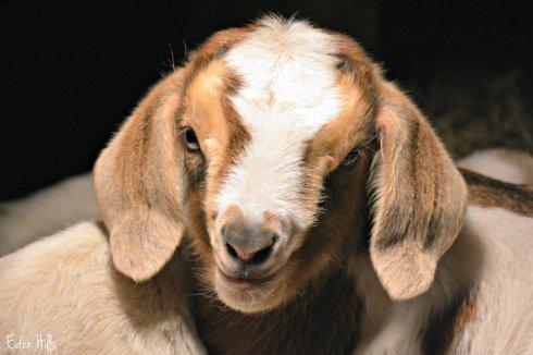 doeling-goat_0088ews