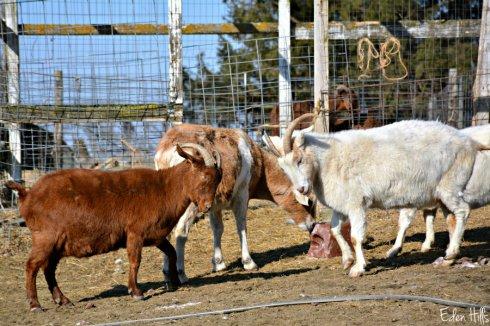 goat-fight_0227ews
