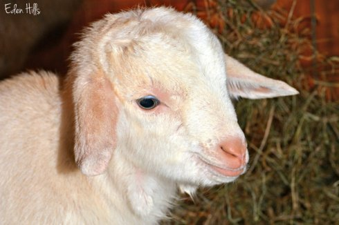 goat-kid_0533ews
