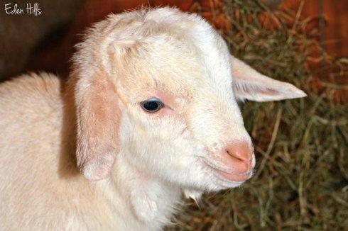 goat-kid_0533ews
