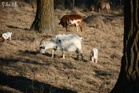 goats_1667ews