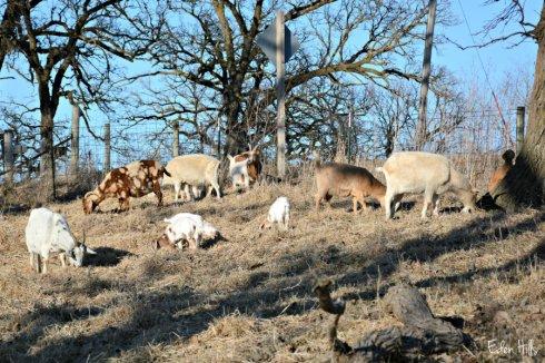 goats_1683ews