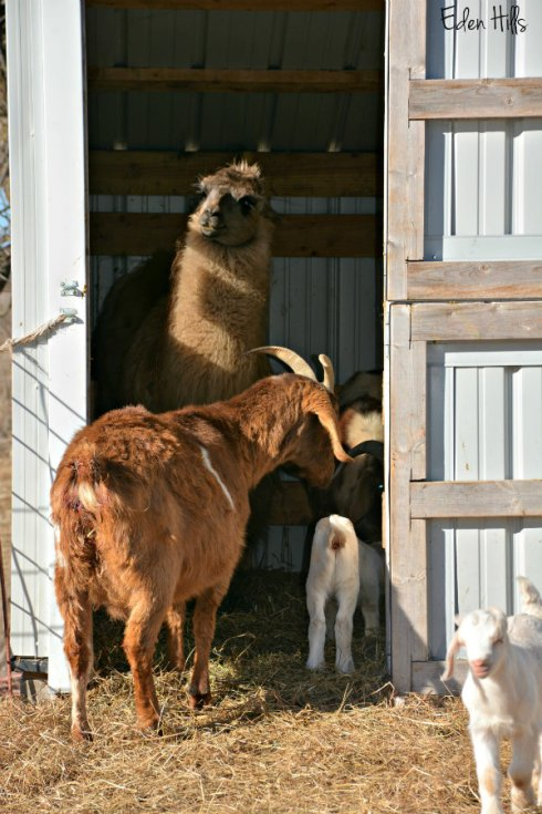 llama-and-goats_0757ews