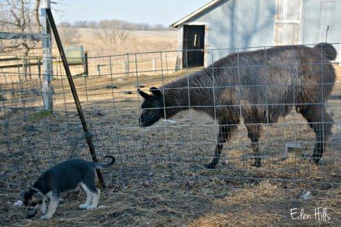 llama-and-pup_1360ews