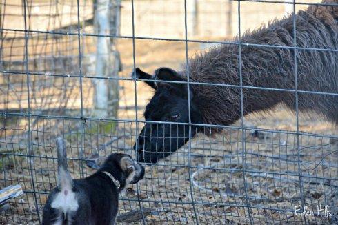 llama-and-pup_1373ews
