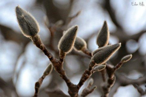 magnolia_1546ews