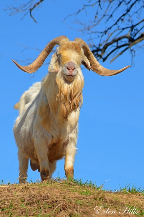 goat buck